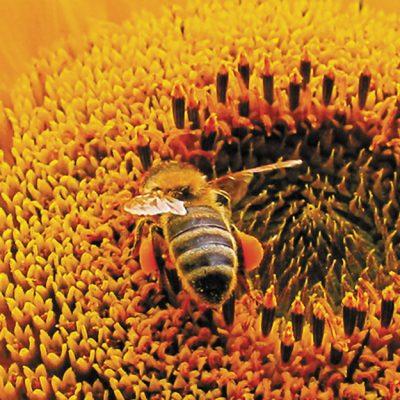 D'abeille